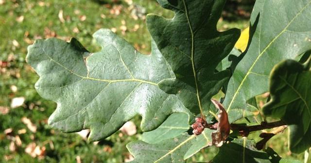 Oak Leaves Denver CO