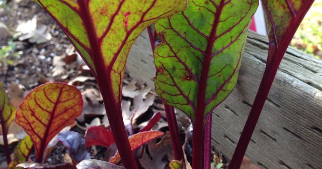 Beet Leaves Gilroy CA
