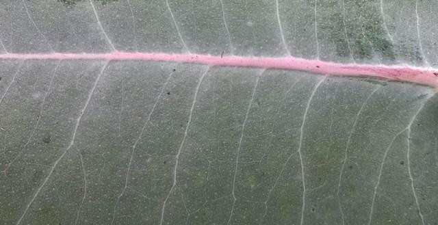 Eucalyptus Leaf Closeup