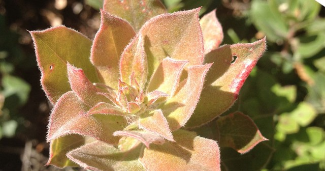 Manzanita Fresh Spring Growth small life details