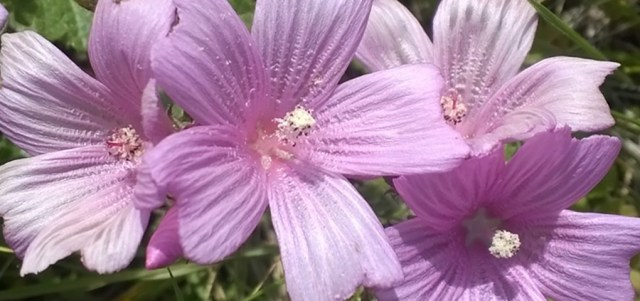 Flowers, CA Native Montara CA