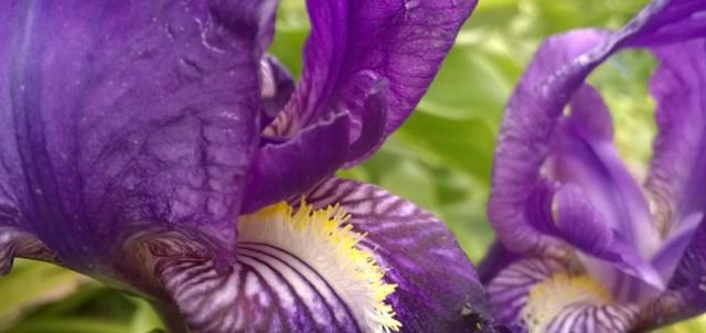 Bearded Iris Rockaway Beach Pacifica CA