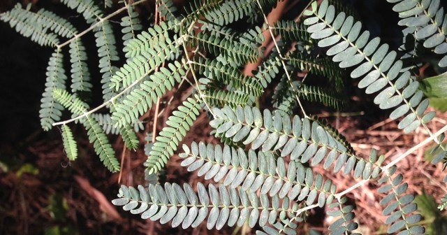 Acacia Leaves Montara CA small life details