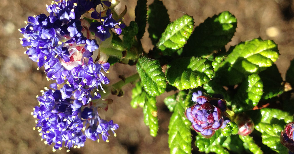 Ceanothus California Lilac small life details