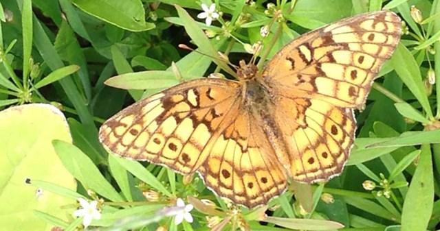 Butterfly Unknown Species Nimmo Garden VA