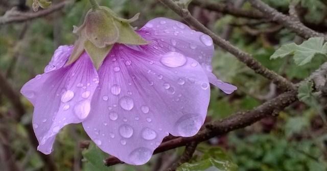 Alyogyne huegelii with Raindrops