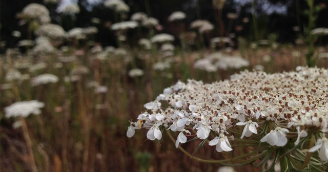 Queen Anne's Lace Montara CA