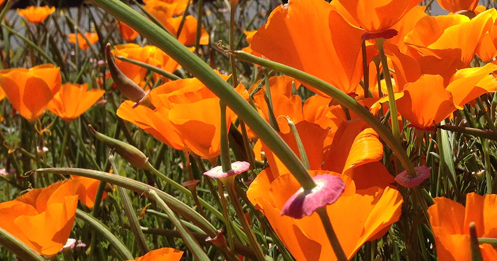California Poppies with Seed Pods Pacifica CA