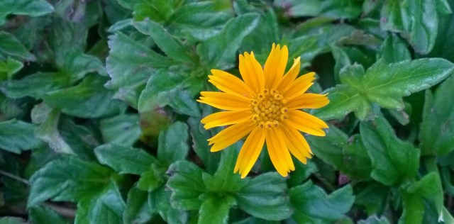 Lawn Daisy West Palm Beach Florida