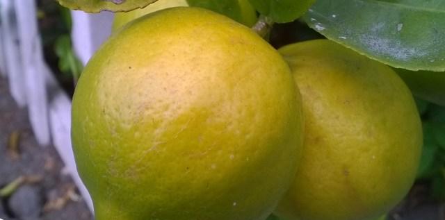 Lemons Montara CA