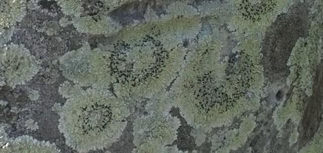 Lichen on a Palm Tree Trunk West Palm Beach FL