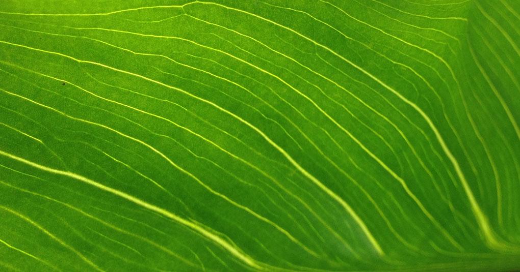 Calla Lily Leaf Montara CA small life details