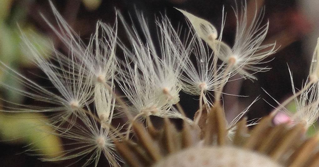 Dandelion Fluff after Rain Montara CA small life details