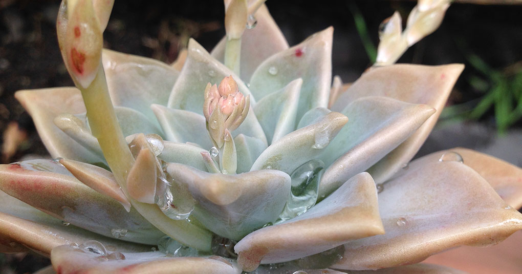 Graptopetalum With Rain Drops Montara CA small life details