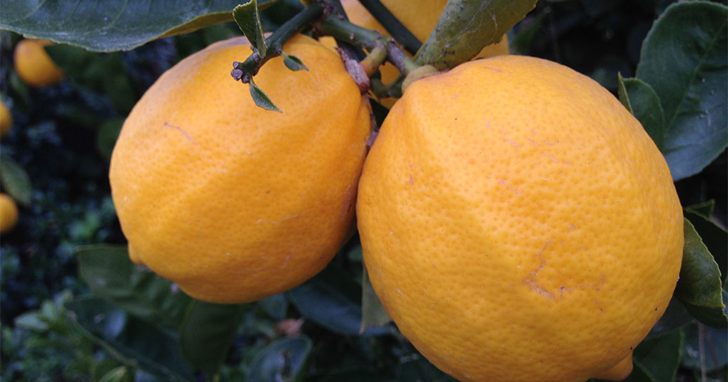 Meyer Lemons on the Tree Montara CA small life details