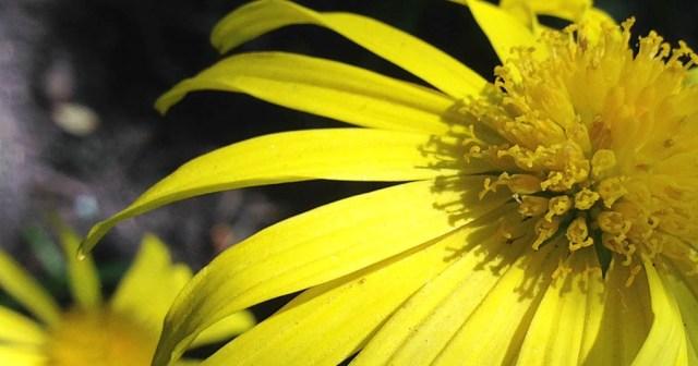 Marguerite Flower in Garden Montara CA