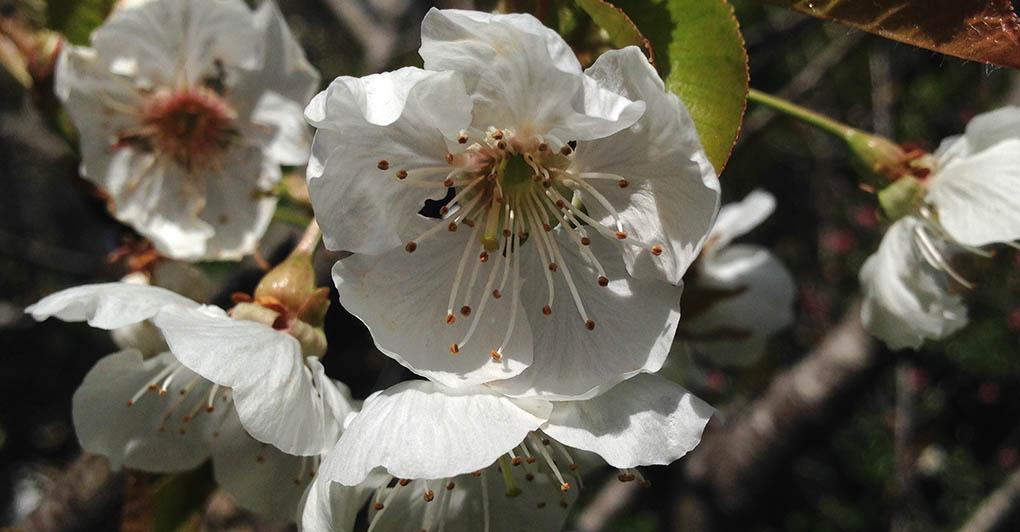 Cherry Blossoms Montara CA small life details