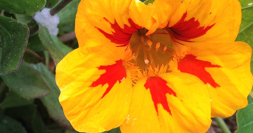 Nasturtium Montara CA small life details