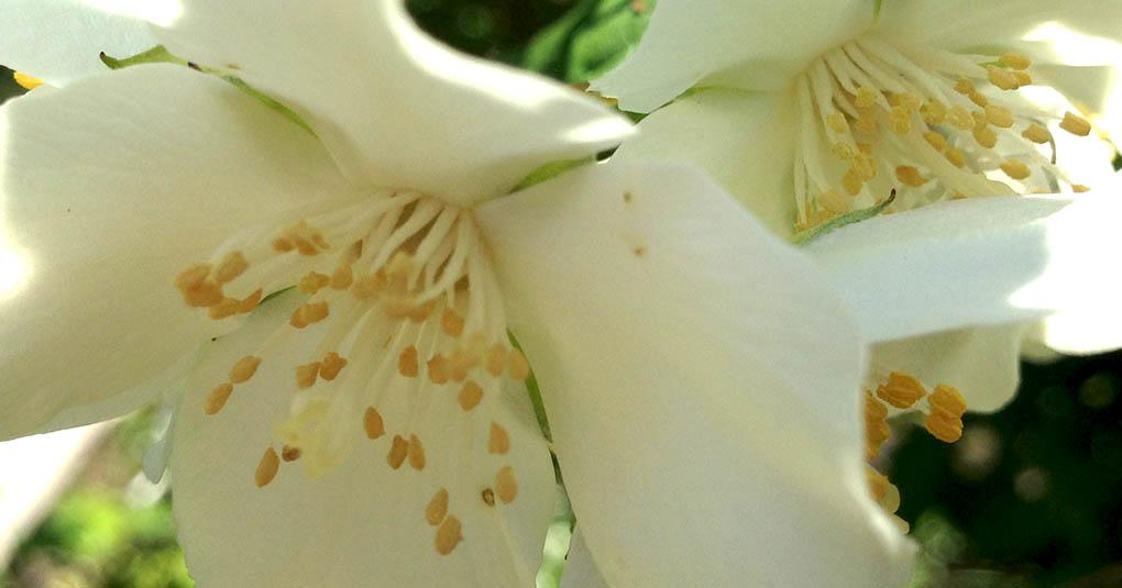 Philadelphus flowers Montara CA small life details