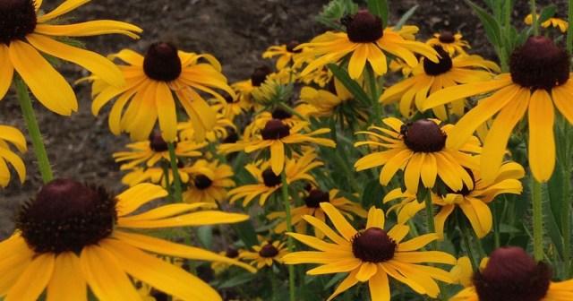 Rudbeckia in Nimmo Community Garden VA