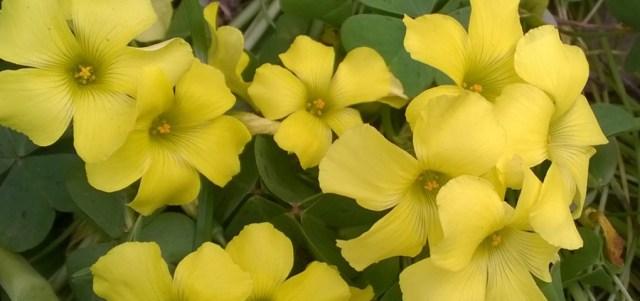 Yellow Oxalis Flowers