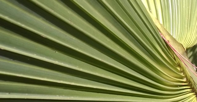 Serrated Palm Leaf, West Palm Beach FL