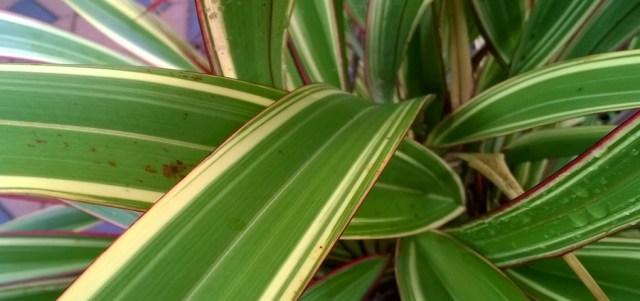 Phormium Leaves with Raindrops