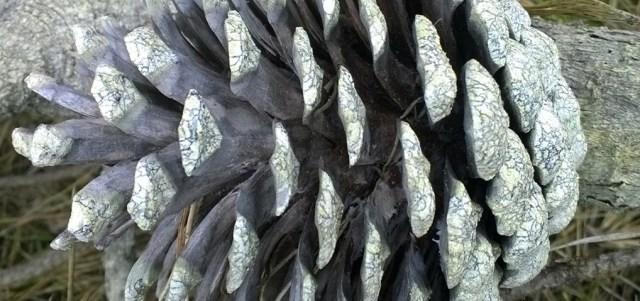 Fallen Pine Cone on Branch Montara CA