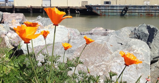 California Poppies along the waterfront San Francisco