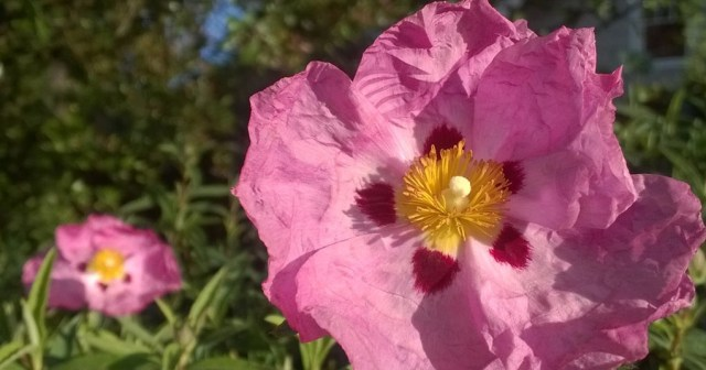 Cistus Flower in the Garden Montara CA