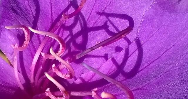 Princess Flower Detail with Shadows Montara CA