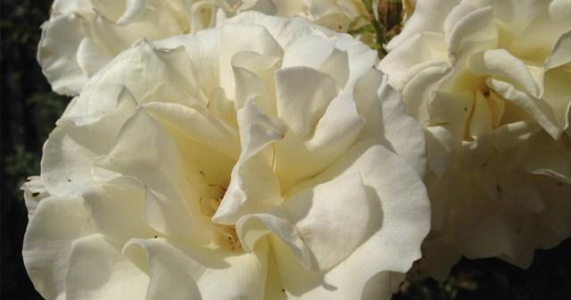Rose, Elizabeth Gamble Garden Palo Alto CA