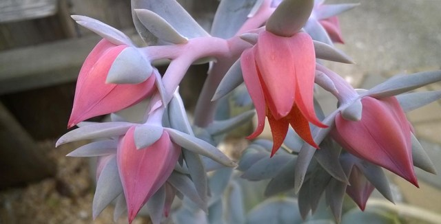 Succulent Flower in a Garden Montara CA
