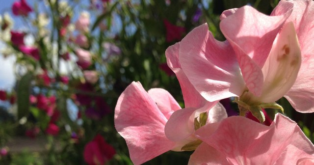 Sweet Pea Flowers Elizabeth Gamble Garden Palo Alto CA