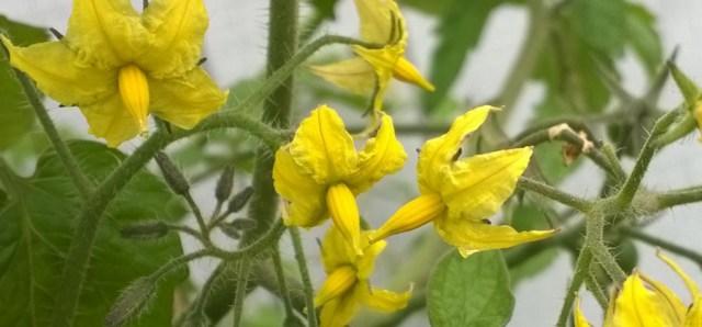 Tomato Flowers on the Vine