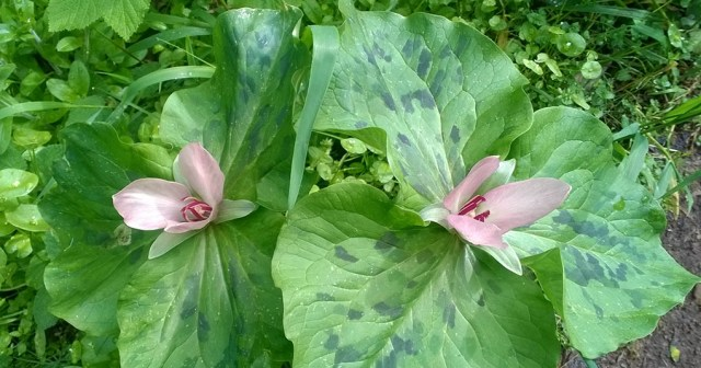 Giant Trillium Flowers San Pedro Valley Park CA