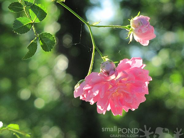 grand_roses3