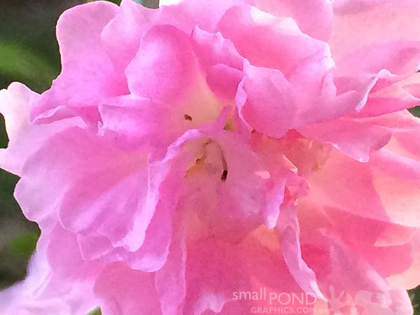 grand_roses5