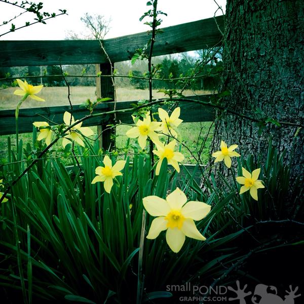 mar_daffodils1