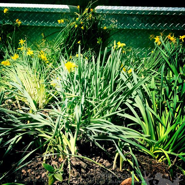 mar_daffodils4