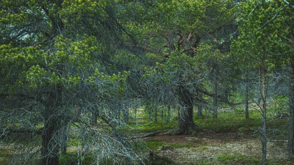 Alberi antichi nella foresta