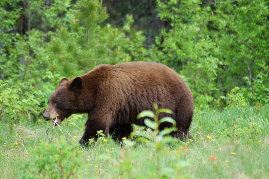 Un orso bruno che cammina in mezzo al prato