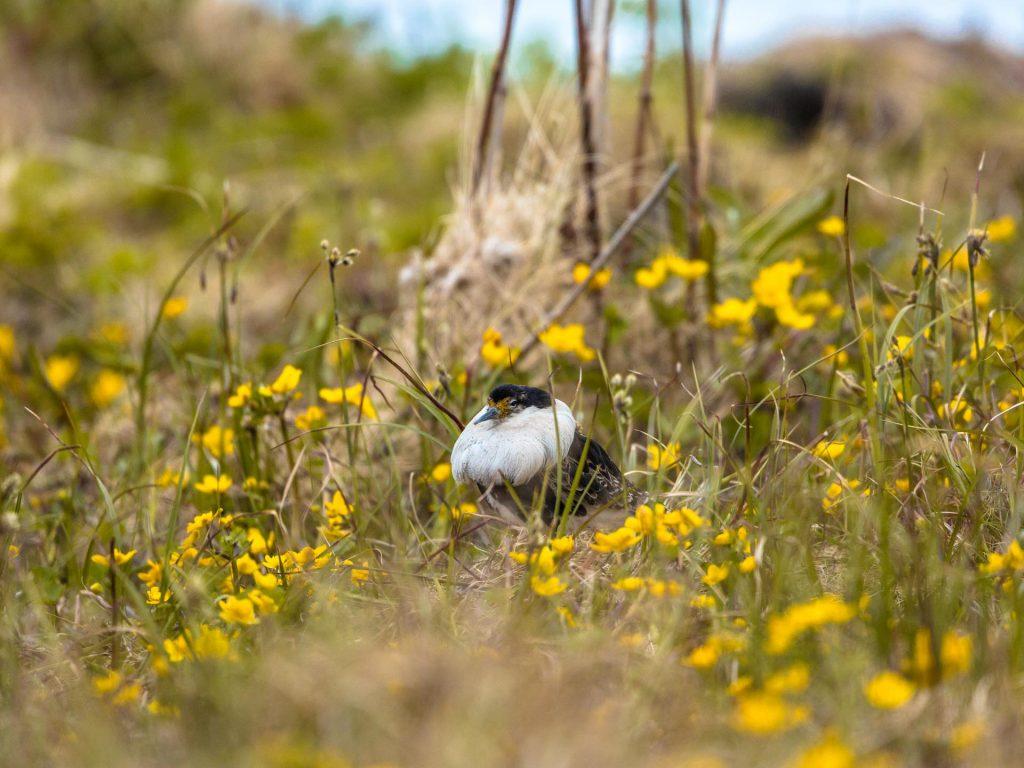 Combattente in abito nunziale tra i fiori nella riserva di Vadsøya