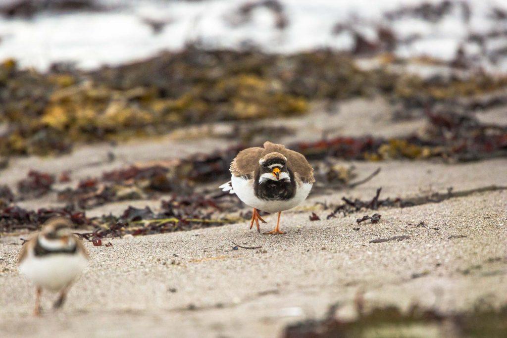 Corrieri grossi in lotta sulla spiaggia di Nesseby