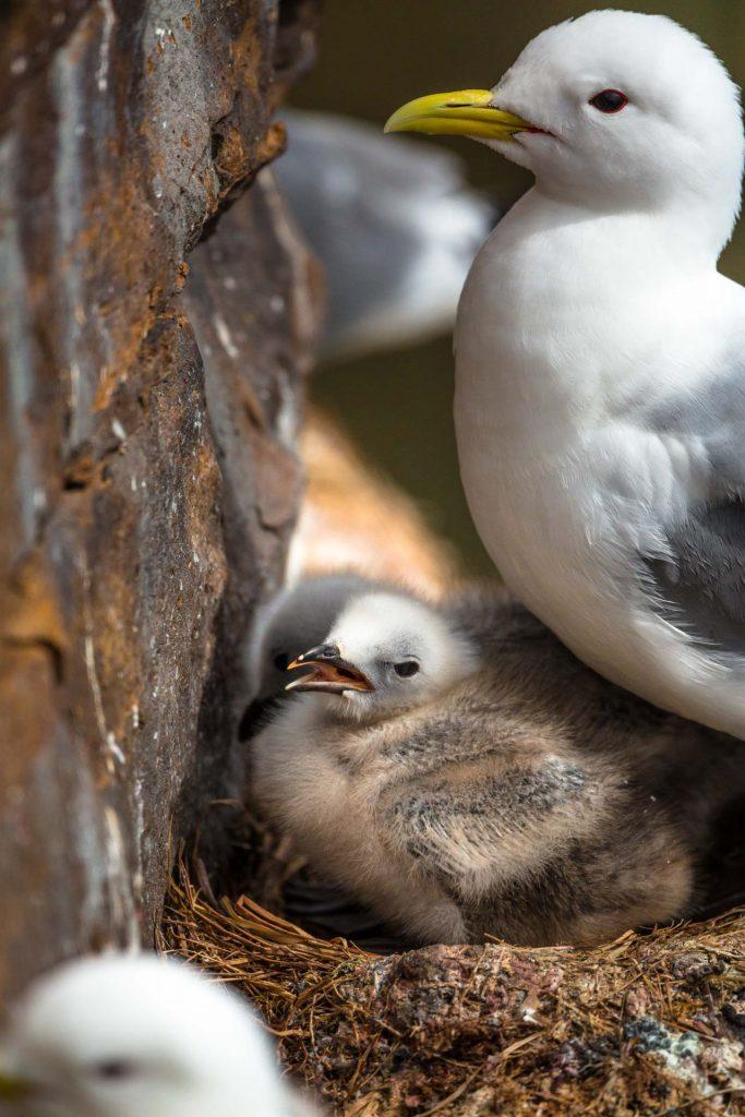 Gabbiano tridattilo con piccoli nella colonia di Ekkeroy