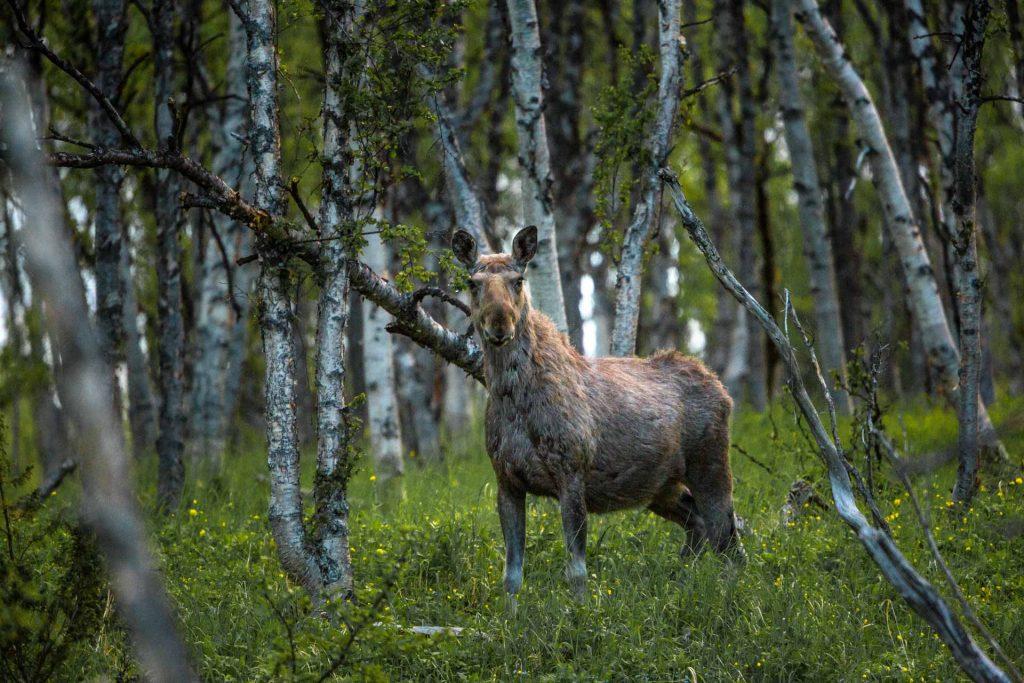 Alce nella foresta norvegese
