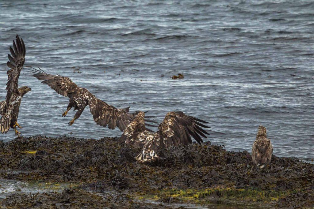 4 aquile di mare si contendono un pesce lungo la costa del Varangerfjord