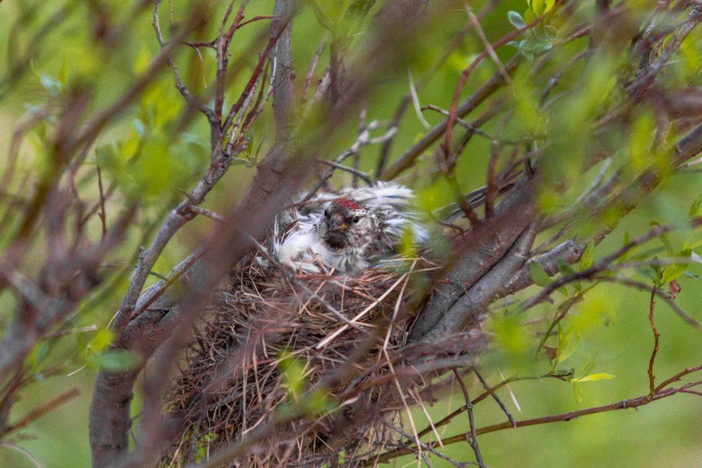 Organetto artico al nido