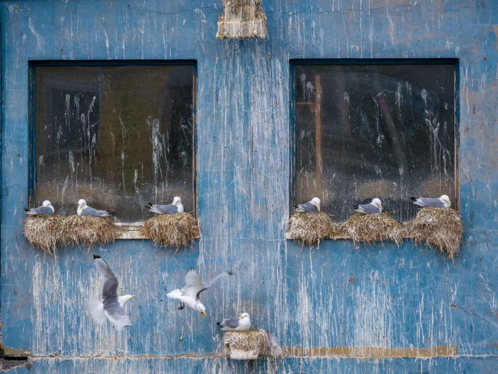 Gabbiani tridattili nel centro di Berlevåg