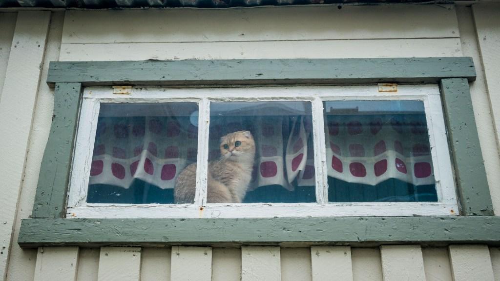 Gatto affacciato alla finestra in norvergia animale da compagnia